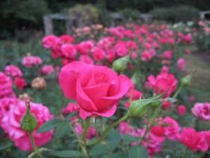 location_raleigh_little_theatre_rose_garden